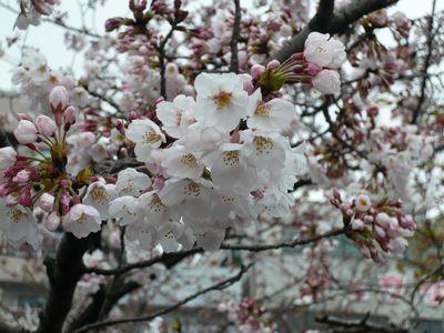 blog20090401桜 004.jpg